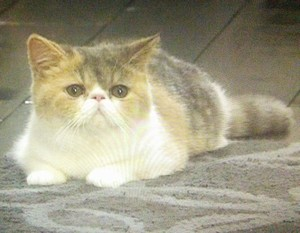 ぶさかわいい(ぶさいくでかわいい)ドラマオトナ女子の猫、中原ちくわちゃん