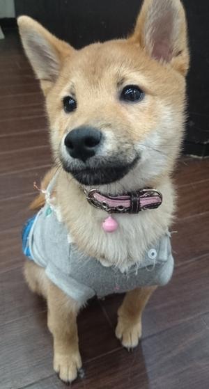 いつかこの恋を思い出してきっと泣いてしまう(いつ恋)の柴犬「サスケくん」2