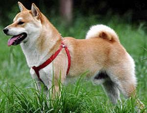 世界一難しい恋(セカムズ)の犬と同じ犬種・色の柴犬の赤毛の画像