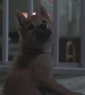 月9ドラマ「いつかこの恋を思い出してきっと泣いてしまう(いつ恋)」の柴犬画像6
