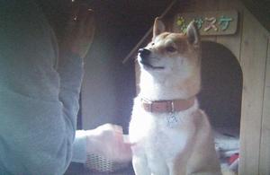 いつ恋第2部第6話、柴犬のサスケ。おうちを作ってもらいました。杉原音(有村架純)とサスケ
