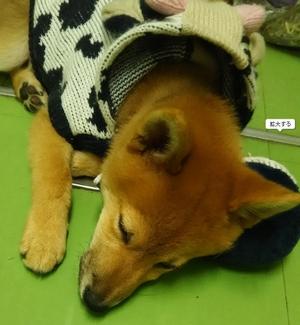 いつかこの恋を思い出してきっと泣いてしまう(いつ恋)の柴犬「サスケくん」4