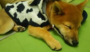 いつかこの恋を思い出してきっと泣いてしまう(いつ恋)の柴犬「サスケくん」3