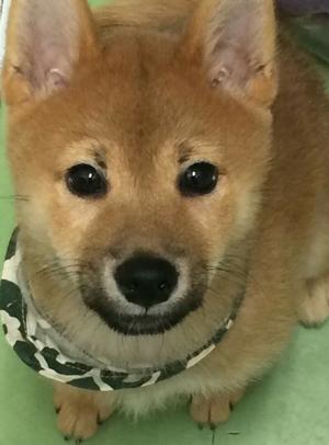 いつかこの恋を思い出してきっと泣いてしまう(いつ恋)の柴犬「サスケくん」6