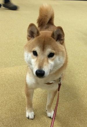 いつ恋第2部の大きい柴犬サスケの本名は「きぃ」くんでした!