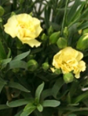 砂の塔で犯人が残した黄色いカーネーション(バラではない)の花言葉の意味は「軽蔑」