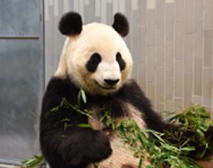 上野動物園のパンダの赤ちゃん子供の一般公開はいつ?中国のレンタル料は?や経済効果1