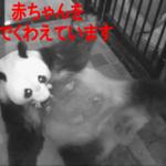 上野動物園のパンダの赤ちゃん子供の画像。一般公開はいつ?中国のレンタル料は?や経済効果2