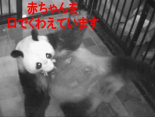 上野動物園のパンダの赤ちゃん子供の画像。一般公開はいつ?中国のレンタル料は?経済効果2