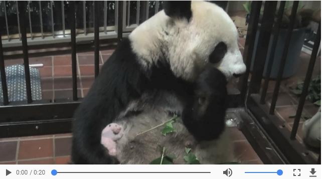 上野動物園のパンダの赤ちゃん子供の一般公開はいつ?中国のレンタル料は?や経済効果4