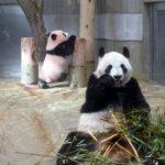 上野動物園パンダ赤ちゃんシャンシャンとお母さん「シンシン」一般公開日はいつから?19日!中国レンタル料や体重・子供の名前も1