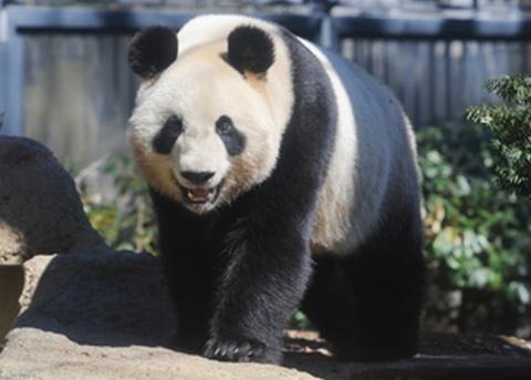 パンダの赤ちゃんの母親の名前は「シンシン(真真)」