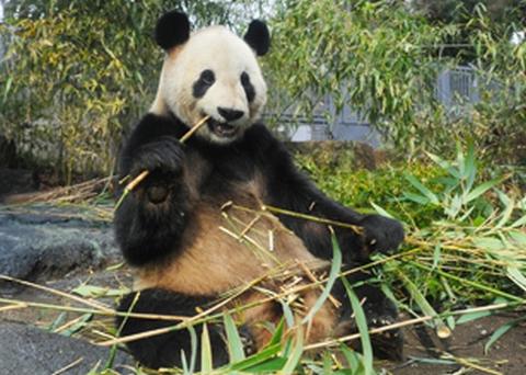 パンダの赤ちゃんの父親の名前は「リーリー(力力)」詳細