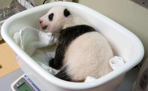 上野動物園のパンダの赤ちゃん子供の名前、一般募集が開始されました。